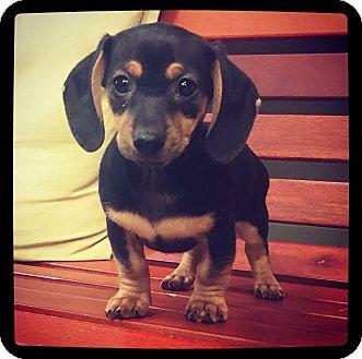 Dachshund/Chihuahua Mix Puppy for adoption in Grand Bay, Alabama - Hershey