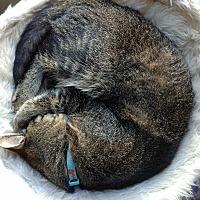 American Shorthair Cat for adoption in Los Angeles, California - Crank & Zuma