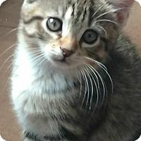 Adopt A Pet :: Blossom - Edgewater, NJ