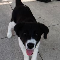 Adopt A Pet :: Taz - Fairfield, IA