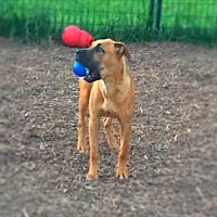 Boxer/Great Dane Mix Dog for adoption in Columbia, Maryland - Michelangelo - LOVES doggie playtime!