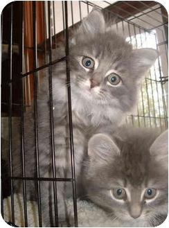 Domestic Longhair Kitten for adoption in Honesdale, Pennsylvania - Megan