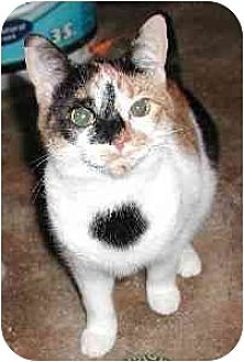 Domestic Shorthair Cat for adoption in Clementon, New Jersey - Jiffie