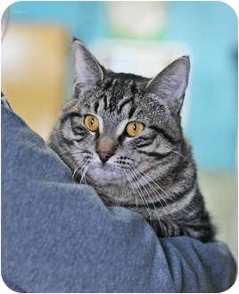 Domestic Shorthair Cat for adoption in Port Hope, Ontario - RJ