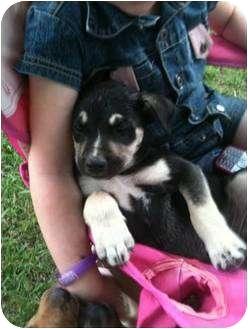Husky Mix Puppy for adoption in White Settlement, Texas - Bambi's Jock