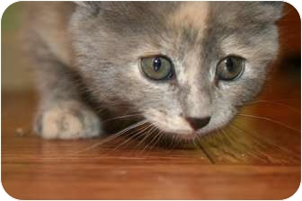 Domestic Mediumhair Cat for adoption in Hopkinsville, Kentucky - Ashton
