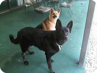 German Shepherd Dog Dog for adoption in Lithia, Florida - kady