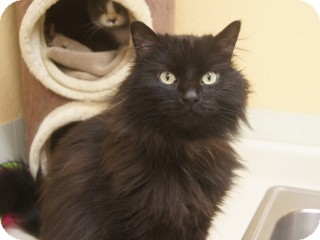 Domestic Longhair Cat for adoption in Libby, Montana - Floofy