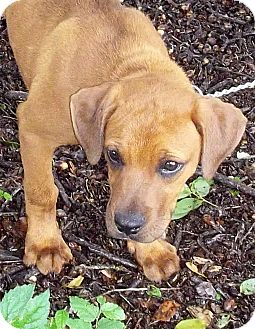 Black Mouth Cur Mix Puppy for adoption in Bandera, Texas - Eli