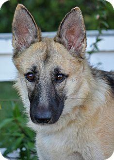 German Shepherd Dog Mix Dog for adoption in Los Angeles, California - Nala von Somer