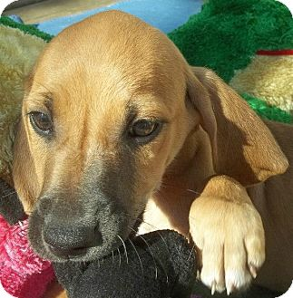 Black and Tan Coonhound/Hound (Unknown Type) Mix Puppy for adoption in Somers, Connecticut - Dakota