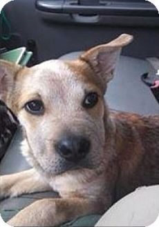 Shar Pei/Cattle Dog Mix Puppy for adoption in New Boston, New Hampshire - Phoenix