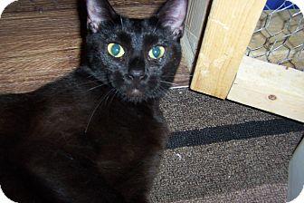 Siamese Cat for adoption in Pueblo West, Colorado - Darlee