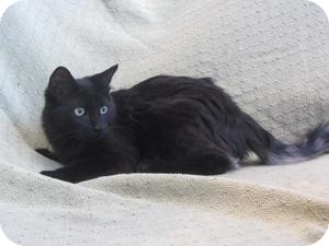 Domestic Shorthair Kitten for adoption in Ridgway, Colorado - Blaze