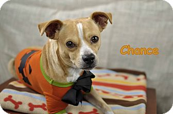 Chihuahua Mix Dog for adoption in Corpus Christi, Texas - Chance