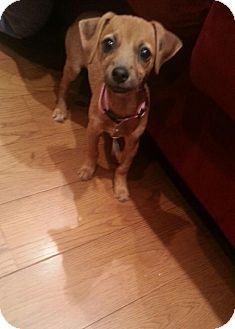 Dachshund/Chihuahua Mix Puppy for adoption in Whittier, California - Willow