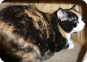 Calico Cat for adoption in Colorado Springs, Colorado - Cutie Pie