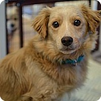 Adopt A Pet :: Chester - Los Angeles, CA
