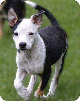 Border Collie/Terrier (Unknown Type, Medium) Mix Puppy for adoption in Minneapolis, Minnesota - Abbie