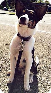 Border Collie Mix Puppy for adoption in Allen, Texas - #22 Nigel