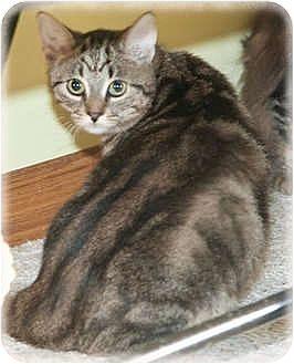 Domestic Shorthair Cat for adoption in Howell, Michigan - Reggie