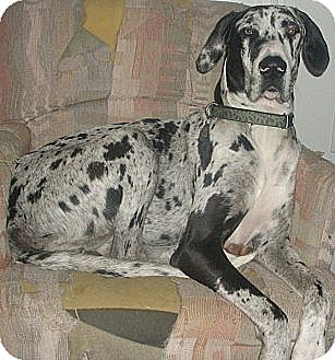 Great Dane Dog for adoption in Austin, Texas - Dolly