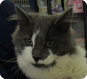 Domestic Longhair Cat for adoption in Lloydminster, Alberta - Drew