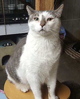 Domestic Shorthair Cat for adoption in Pasadena, California - Latte