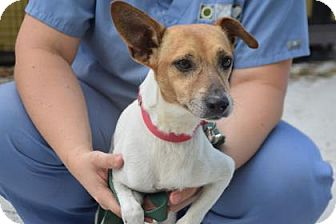 Jack Russell Terrier Mix Dog for adoption in Bradenton, Florida - Doug