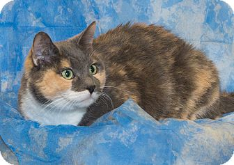 Domestic Shorthair Cat for adoption in Elmwood Park, New Jersey - Emerald