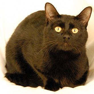 Domestic Shorthair Cat for adoption in Newland, North Carolina - Thor