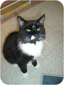 Domestic Longhair Cat for adoption in Bristol, Rhode Island - Tux II
