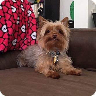 Yorkie, Yorkshire Terrier Dog for adoption in Baton Rouge, Louisiana - Bentley