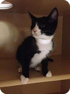 Domestic Shorthair Kitten for adoption in Plymouth Meeting, Pennsylvania - Pia