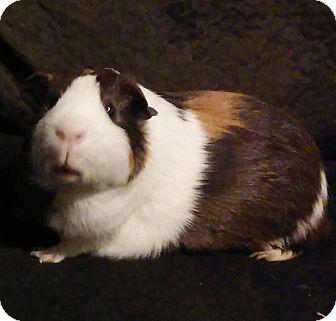 Guinea Pig for adoption in Manhattan, Kansas - Albert