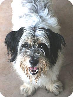 Tibetan Terrier/Lhasa Apso Mix Dog for adoption in Bedminster, New Jersey - Keegan