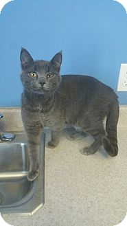 Domestic Shorthair Cat for adoption in Brookings, South Dakota - Juliet