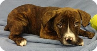 American Pit Bull Terrier Mix Puppy for adoption in Olive Branch, Mississippi - Trudy
