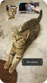 Domestic Shorthair Kitten for adoption in Ortonville, Michigan - Pandora