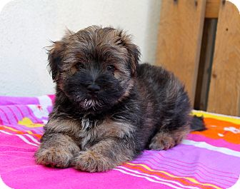 Wheaten Terrier Mix Puppy for adoption in Los Angeles, California - Gene