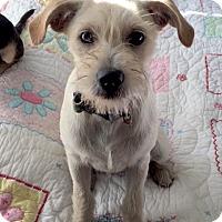 Adopt A Pet :: Sax - adoption pending - Pleasanton, CA