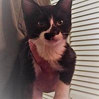 Adopt A Pet :: King Charles - Corinne, UT