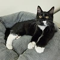 Domestic Mediumhair Kitten for adoption in Montgomery City, Missouri - Figaro