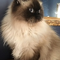 Himalayan Cat for adoption in INDIANAPOLIS, Indiana - SCARLETT