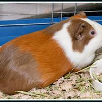 Adopt A Pet :: RAICHU - Frederick, MD