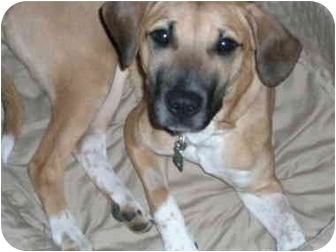 Boxer/Hound (Unknown Type) Mix Dog for adoption in Charlottesville, Virginia - Layla