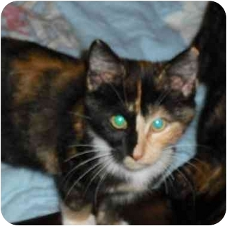 Domestic Shorthair Cat for adoption in Sheboygan, Wisconsin - Gwyneth
