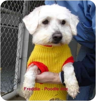 Poodle (Miniature) Mix Dog for adoption in Grants Pass, Oregon - Freddie