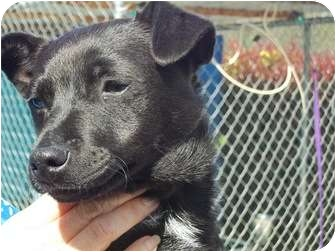 Terrier (Unknown Type, Small) Mix Puppy for adoption in Grants Pass, Oregon - Dozer