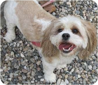 Cockapoo Mix Dog for adoption in Manchester, Connecticut - Quinn
